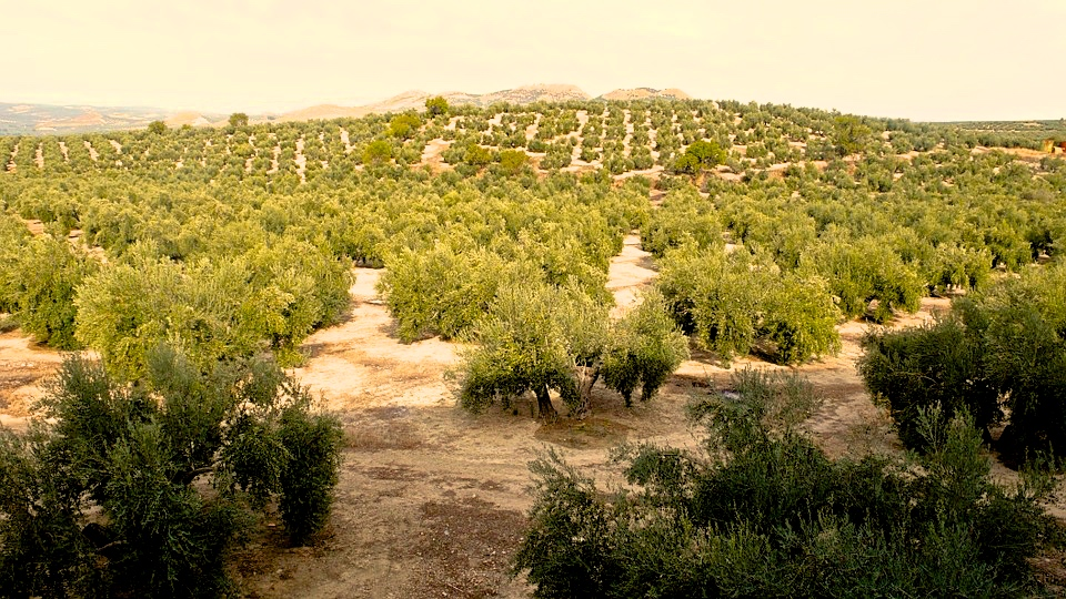 Olive Oils of Spain – The More You Know! - Citylife Barcelona